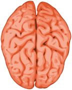Figure 2. The brain's two halves or hemispheres. (Source: pixabay)